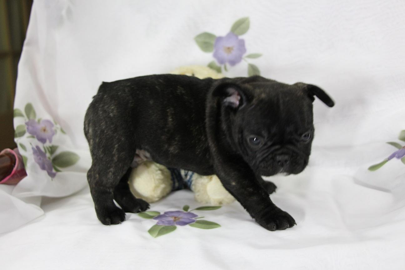 Small Dog Breeder In Barnwell Sc